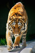 tiger walking staring eyes Tiger Panthera tigris altaica
