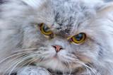 portrait of persian cat poster