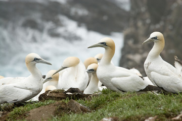 Gannets hanging out on the side of a cliff at the St. Mary's