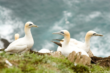 Norther gannets at St. Mary's Bay Ecological Preserve.