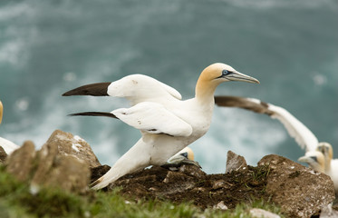 A northern Gannet spreading it's wings at Cape St. Mary's