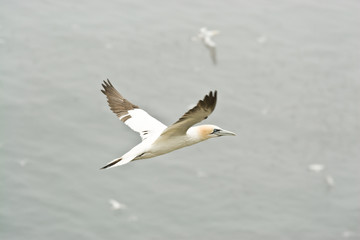 Great Northern Gannet flying through the air.