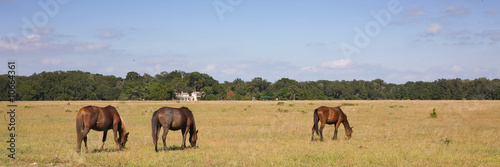 Horses Grazing on Cumberland Island