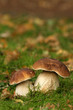 Autumn scene: two mushrooms
