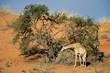 A giraffe feeding on a camel thorn tree, Kalahari, South Africa