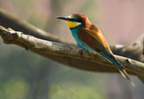 Bee-eater resting poster