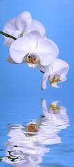 Orchidée et reflet