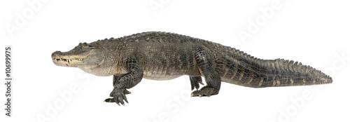 Foto op Plexiglas Krokodil American Alligator (30 years) - Alligator mississippiensis