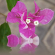 fleur mauve de bougainvillée
