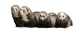 ferret - Mustela putorius furo poster