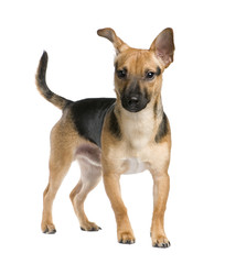 Mixed-Breed Dog between a jack russel and a pinscher (7 months)