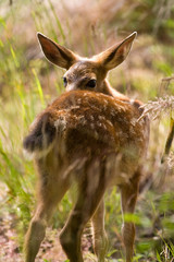 Blacktail Fawn Deer