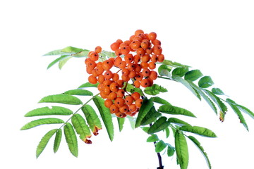 Branch of rowanberry