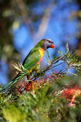 Rainbow Lorikeet feeding on Grevillea