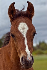 Foal close up head shot
