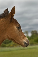 Foal in profile against stormy sky background