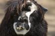 Alpaca's face