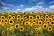 Sunflower Farmland With Blue Cloudy Sky