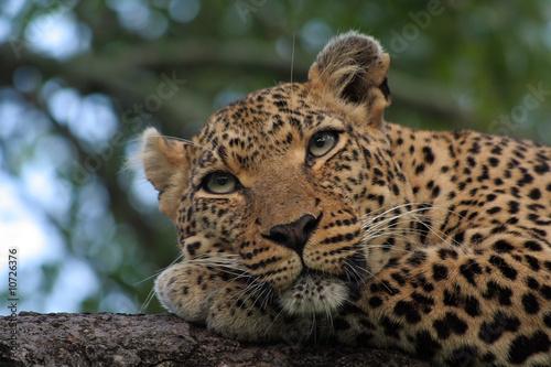 Fotobehang Luipaard Leopard in tree
