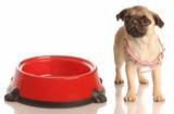 pug puppy with large collar sitting beside empty dog dish poster
