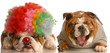 bulldog laughing at another dog dressed up with clown wig