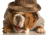 english bulldog wearing plaid fedora poster
