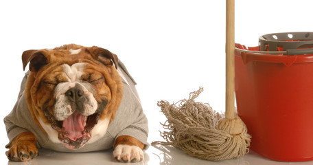 adorable bulldog sitting beside mop and bucket laughing