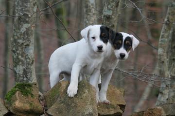 deux parson russel terrier blanc grimpés sur des rochers