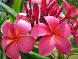 Rose-pink Frangipani - fragrant exotic tropical flower