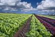 lettuce field - 10742933