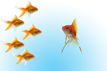 goldfishes with leader