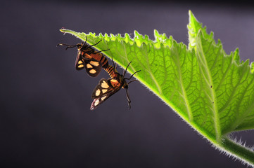 moth mating on a leaf