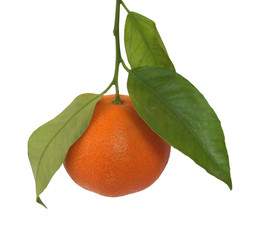 Mandarin orange or mandarine citrus fruit