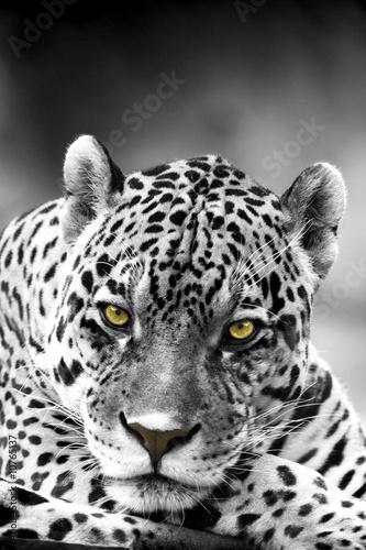 Bliska, Portret Leopard