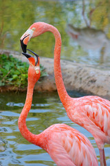A kiss of two flamingos
