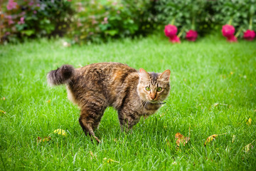Cat is running on green grass