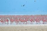flocks of flamingo poster