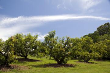 Avocado trees