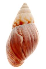 Close-up of seashell isolated on white background
