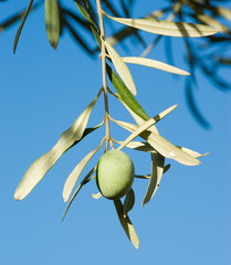 one olive fruit ripening on small branch