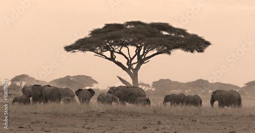 Fototapeta stado - afryka - Dziki Ssak