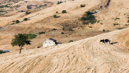 Landscape of field harvested, a farm with tree and cow Frisona