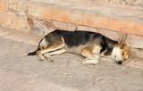 Sleeping dog in Marrakech, Morocco poster