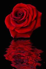 rosa rossa riflessa