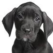 puppy Great Dane (2 months)