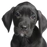 puppy Great Dane (2 months) poster