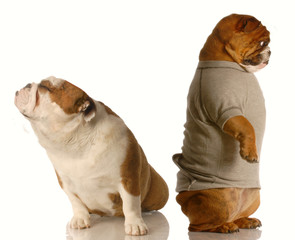 english bulldog standing with his back to the other arguing