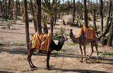 Camels waiting for tourists in Marrakech, Morocco poster