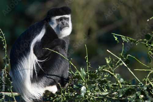 Poster colobus monkey