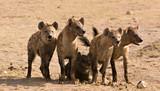 Pack of hyenas